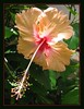 Hibiscus rosa-sinensis 'Madeline Champion' (Tropical/Chinese Hibiscus, China Rose, Shoe Black Plant, Shoe Flower)