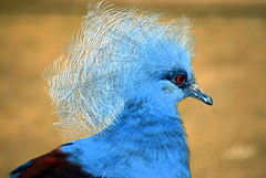 ...like my hairdoo?? ... (katifelkai) Tags: ilovenature bravo naturesfinest featheryfriday animalkingdomelite abigfave colorphotoaward avianexcellence brisbanebirds