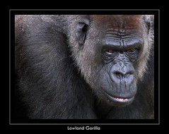 Lowland Gorilla (sparky2000) Tags: nature animal animals closeup mammal zoo scotland edinburgh natural gorilla wildlife scottish ape mammals animalplanet naturalworld animalkingdom mammalia greatape edinburghzoo  10faves lowlandgorrila sparky2000 platinumheartaward stuartreynolds stuartrobertsonreynolds robersonreynoldsphotography