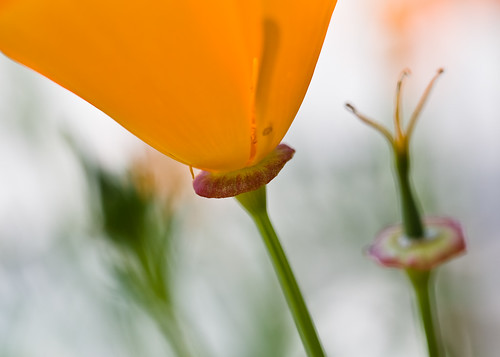 Three States of California Poppy
