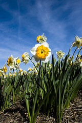 Narcis (Marc C) Tags: daffodil bollen narcis lisse