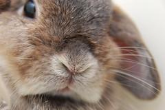 Bunny stare (jade_c) Tags: pet rabbit bunny animal mammal singapore opal  hollandlop andora  lagomorph blueribbonwinner opalhollandlop