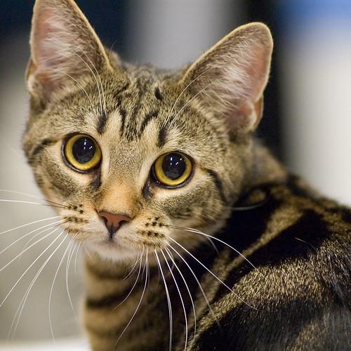 Joypuddle- Brown Tabby She-cat