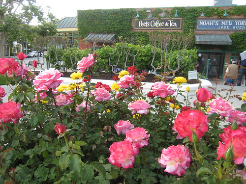 Roses and grapes growing in front of Peet's