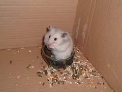No Sweet today? (mike_mcnass) Tags: budgie hamster hampster