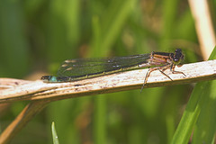 "Blue Tailed Damselfly (ischnura elega(8) • <a style=""font-size:0.8em;"" href=""http://www.flickr.com/photos/57024565@N00/486977699/"" target=""_blank"">View on Flickr</a>"