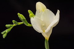 Freesie / Freesia (thunderbird-72) Tags: makro grün macro knospe freesie flower blume nikond7100 freesia bokeh sigmaex28105dgmacronafdoshsm