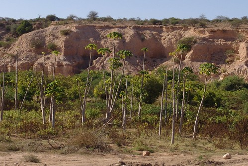 Papaya grove on way to Berbera