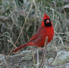lake cardinal2 (JAMES HALLROBINSON) Tags: winter red bird cardinal kentucky wildfowl mcneelylake