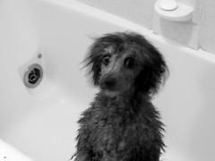 Das Bad zum Samstagabend (Pablo the Doggie) Tags: dog pet animal silver toy fluffy canine superman suit jacket poodle cuddly batman batdog superdog