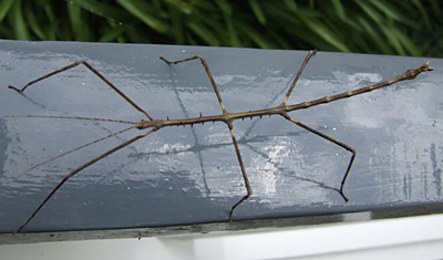Walking stick - the insect variety
