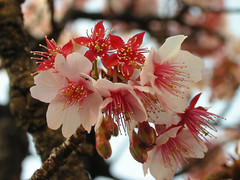 Before...now...after... (stephen_pix) Tags: pink plant flower macro japan closeup cherry bravo blossom  sakura prunus excellence  cerasus helluva faveme kanzakura  250v10f abigfave favemegroup4