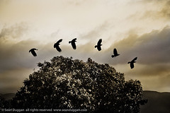 Six Crows (Sen Duggan (aka f/1.4)) Tags: 6 storm birds silhouette sepia clouds flying f14 flight 5d mystical canon5d crows six legend blackbirds myth omen harbinger splittoned notacollage abigfave isawyoufirst