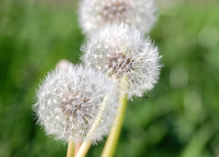 dandelions (S. Balcomb) Tags: california white green nature nikon dof bokeh dandelion photodomino top20 alameda birdsanctuary top20bokeh photodomino414