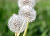 dandelions (S. Balcomb) Tags: california white green nature nikon dof bokeh dandelion photodomino top20 alameda birdsanctuary top20bokeh photodomino414