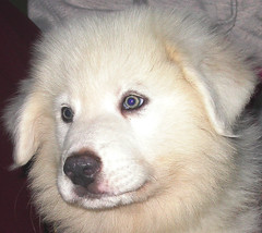 Beautiful Puppy (baalands) Tags: puppy greatpyrenees mccomb petlovers