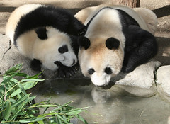 Bai Yun and Su Lin's last day together (kjdrill) Tags: california bear usa reflection pool giant mom zoo cub panda sandiego bears fv10 baiyun pandas endangeredspecies sdzoo sulin impressedbeauty