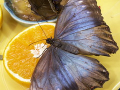 Blue Morpho (Ambrosia_apples) Tags: blue orange butterfly butterflies butterflypavilion shimmer sciencecenter pacificsciencecenter butterflyhouse tropicalbutterflyhouse msh0407 seattleeveryday msh040711 happinessconservancy pacificsciencecenterbutterflypavilion seattlepacificsciencecenterbutterflypavilion ambrosiacaching