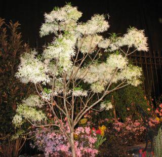 IMG_2470 Fringe tree