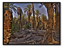 (macro_sa) Tags: palm saudi hdr natuer