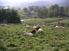 Sheep grazing in rural Virginia