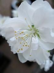 White peach blossom center (tanakawho) Tags: white plant flower blossom peach center petal stamen layer pollen blueribbonwinner 1on1macros tanakawho