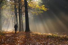 Sunny forest (Johan_Leiden) Tags: november autumn sun fall netherlands forest nederland sunny rays sunrays soe tms raysoflight veenendaal tellmeastory prattenburg lpautumn lpautumn2