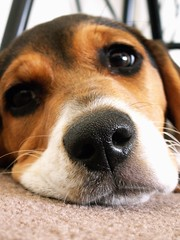dreaming about a big bone... (marcelina_usaf) Tags: portrait dog beagle face pies portret twarz ilovethisdog colorphotoaward bigiel awardflickrbest