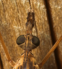 "Cranefly Head Macro • <a style=""font-size:0.8em;"" href=""http://www.flickr.com/photos/57024565@N00/412555093/"" target=""_blank"">View on Flickr</a>"