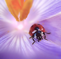 Ladybird in crocus