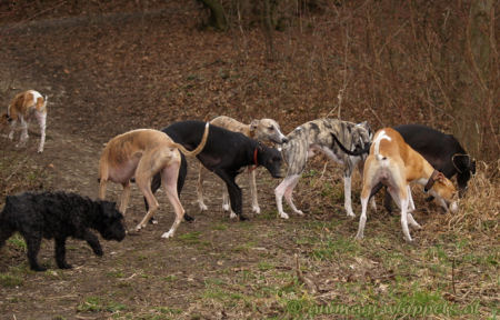 Whippet group