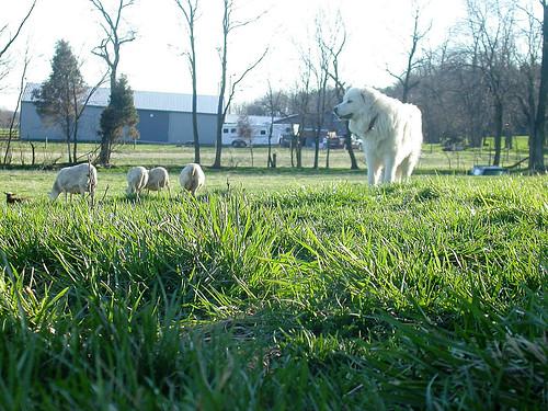 McComb the livestock guardian