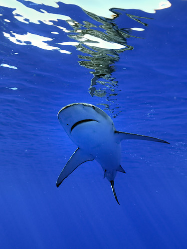 Galapagos Shark in Hawaii