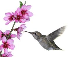 On Gossamer Wings (flopper) Tags: birds hummingbird flight sfbayarea beijaflor annashummingbird colibri interestingness5 interestingness6 interestingness4 flopper abigfave