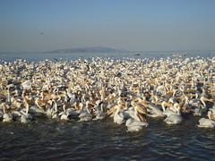 Pelicanos en Petatan, Michoacan