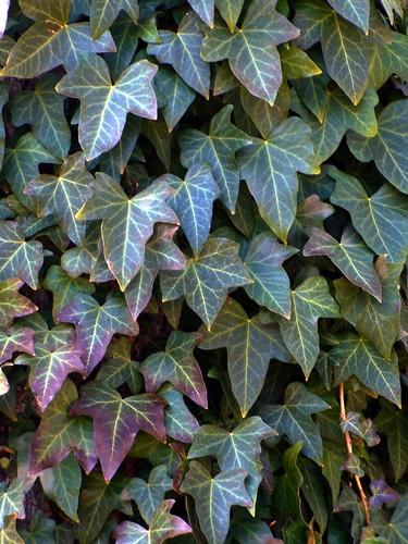 Textures: Ivy