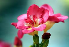 Garden Flowers (` Toshio ') Tags: pink flower macro art gardens botanical washingtondc petal neoregelia botanicalgardens excellence toshio outstandingshots impressedbeauty nationalbotanical superhearts