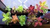 Overwintering Coleus at Work 1