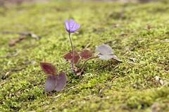 Baski (Anatoliy Odukha) Tags: flowers nature spring