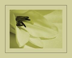 Soft & Creamy (Maggie**(In & Out)) Tags: flower up bravo soft lily close soe creamy naturesfinest beautifulearth splendiferous supershot instantfave superaplus aplusphoto superbmasterpiece wowiekazowie