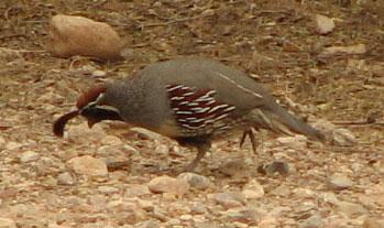 gambell's quail
