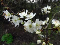 blackthorn blossum DSCF4600 (hedgerowmobile) Tags: blackthorn prunus blossum spinosa