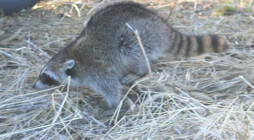 common raccoon running