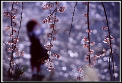 Graduation Day (B*_J) Tags: pink flower film japan canon river landscape kyoto bokeh graduation velvia cherryblossoms schoolgirl tamron blueribbonwinner abigfave artlibre impressedbeauty