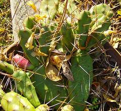 Opuntia Pusilla - Prickly Pear