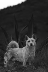 The Guardian (Luis Montemayor) Tags: blackandwhite dog blancoynegro mexico desert perro desierto guardian realdecatorce sanluispotosi dflickr dflickr180307