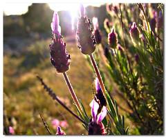 Cantueso (AdelitaLaGalga) Tags: wild flower primavera spring nikon flor coolpix 2007 8800 nikonstunninggallery cantueso adelitalagalga adelitalagala