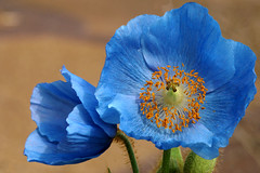 Blue Poppies (Creativity+ Timothy K Hamilton) Tags: blue flower k garden botanical 500v20f flor hamilton petal missouri poppy poppies timothy mobot 1500v60f 1000v40f timothykhamilton 16p