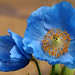 Blue Poppies - by Creativity+ Timothy K Hamilton