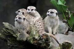 Lookout! (jambo13) Tags: animal zoo meerkat singapore watching singaporezoo